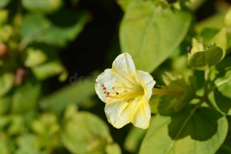 Wunder von Peru Lutea lizenzfreie stockfotos