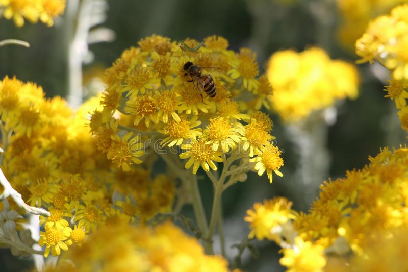 Wunderbare Biene auf einer gelben Blume am Feiertag im russischen Erholungsort von Krim lizenzfreie stockfotos