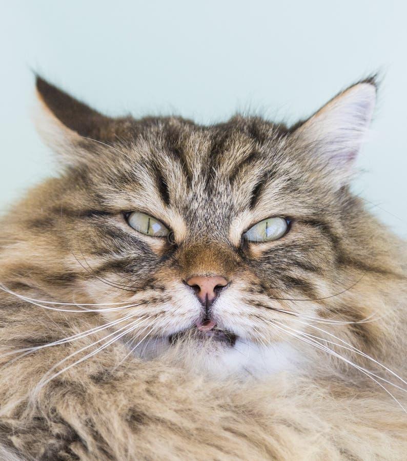 Wunderbare Katze des Viehbestandes, sibirisches reinrassiges Tier Entzückendes inländisches PET stockfotografie
