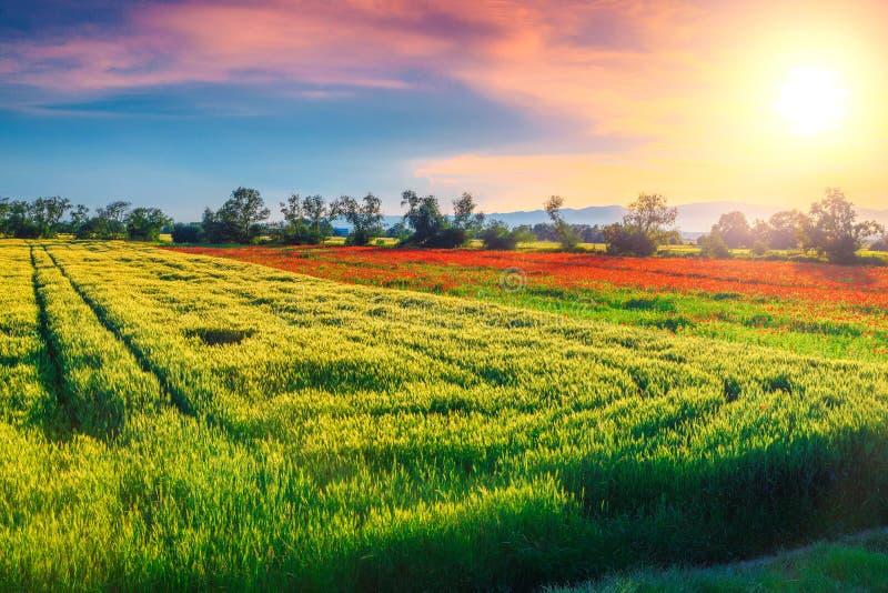 Wunderbare Sommerlandschaft mit Korn und rotem Mohnblumenfeld, Rumänien stockfotografie