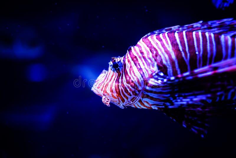 Wunderbare und sch?ne Unterwasserwelt mit Korallen und tropischen Fischen stockfotografie