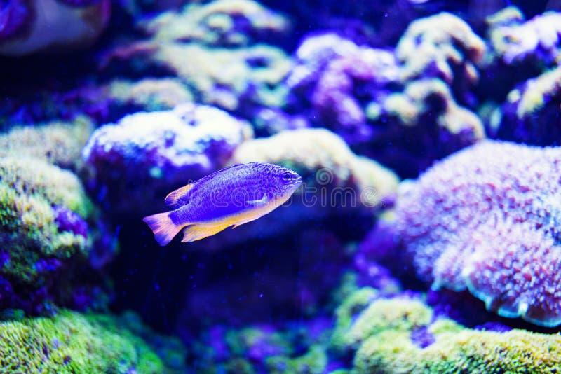 Wunderbare und sch?ne Unterwasserwelt mit Korallen und tropischen Fischen stockfoto