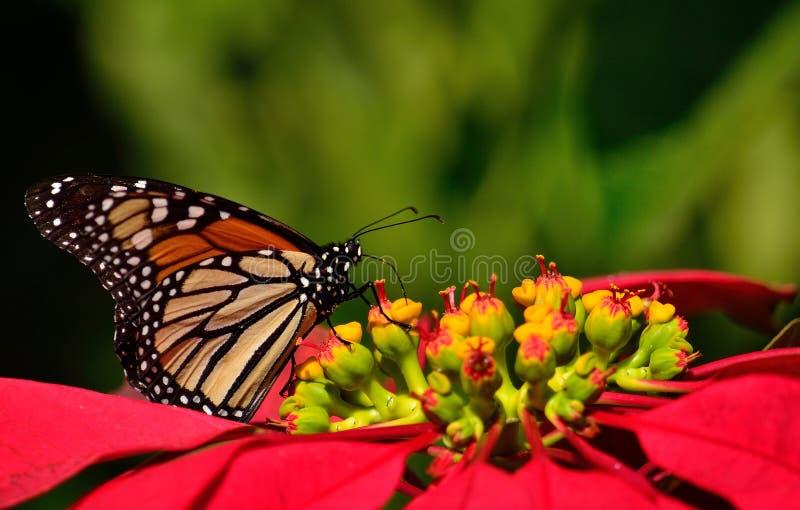 Wunderbarer Monarchfalter und Poinsettia stockbilder