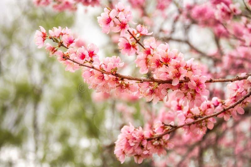 Wunderbarer rosa Cherry Blossoms bei Floriade stockfotografie