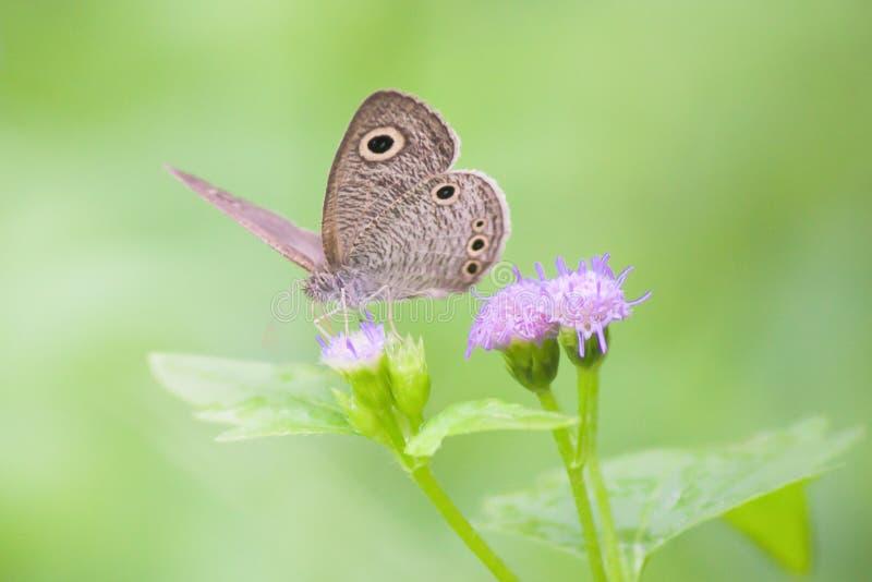 Wunderbarer Schmetterling auf Gras blüht mit grünem Hintergrund stockfotografie