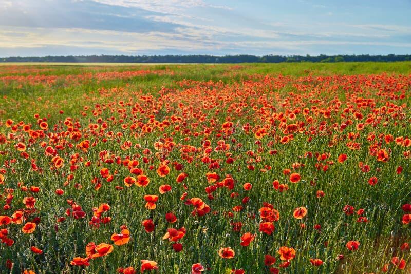 Wunderbares Mohnblumenfeld, Sommerlandschaft bei Sonnenaufgang stockfoto
