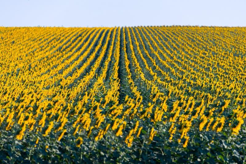 Wunderbares Panoramablickfeld von Sonnenblumen bis zum Sommerzeit lizenzfreies stockbild