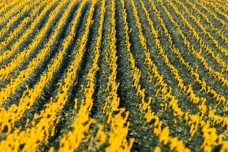 Wunderbares Panoramablickfeld von Sonnenblumen bis zum Sommerzeit lizenzfreie stockfotografie