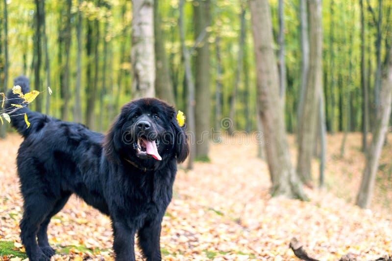 Wunderbares Porträt von Neufundland-Hund im Wald stockbilder