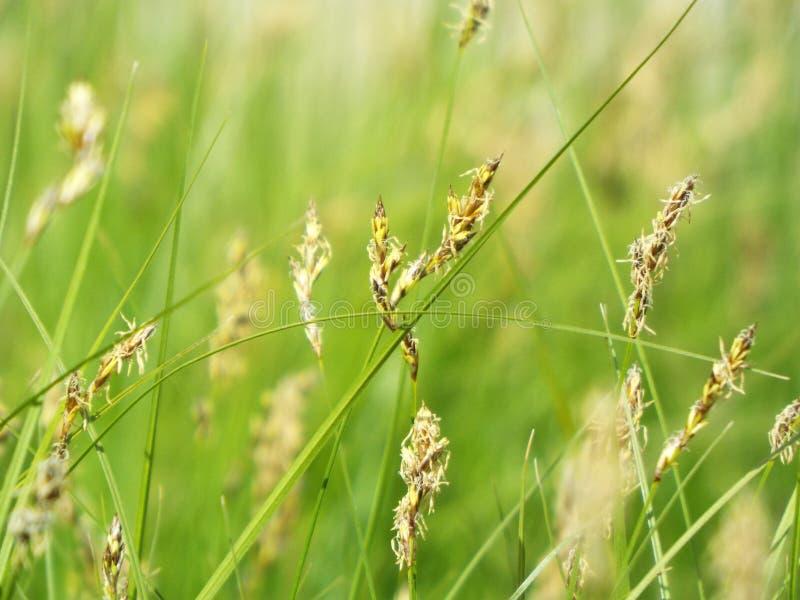 Wunderbares schauendes Gras stockfoto