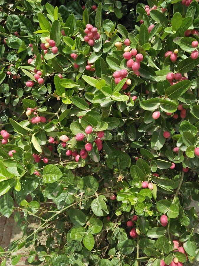 Wunderfrucht u. x28; SYNSEPALUM DULCIFICUM u. x29; stockfoto