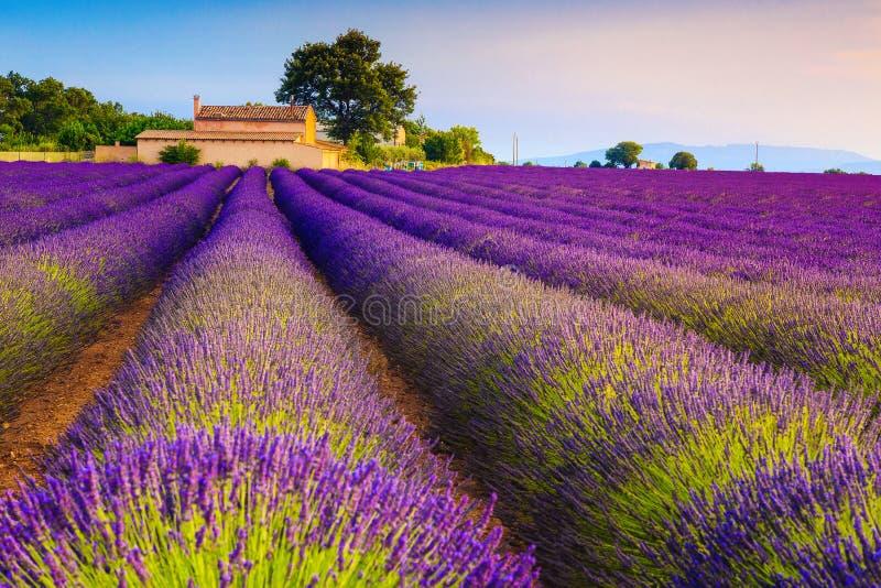 Wunderschöne violette Lavendelsträucher und Plantagen in Provence, Valensole, Frankreich lizenzfreies stockfoto