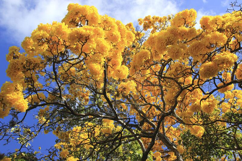 Wunderschöner gelber Frühlingsbolossom, Frühjahrskonzept stockfoto