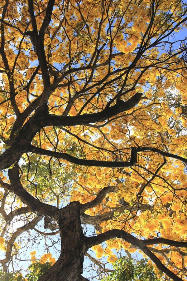 Wunderschöner gelber Frühlingsbolossom, Frühjahrskonzept stockbilder