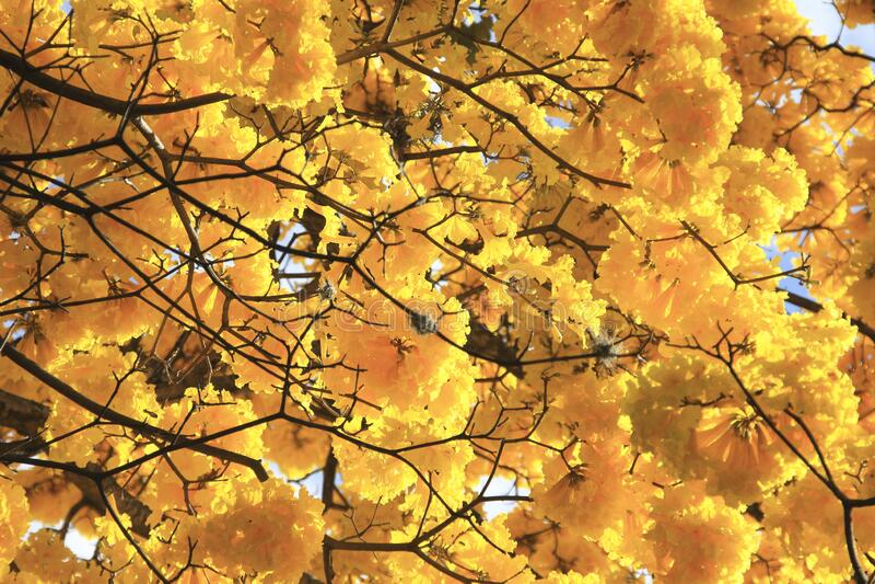 Wunderschöner gelber Frühlingsbolossom, Frühjahrskonzept stockbild