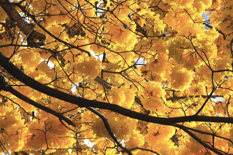 Wunderschöner gelber Frühlingsbolossom, Frühjahrskonzept lizenzfreies stockbild