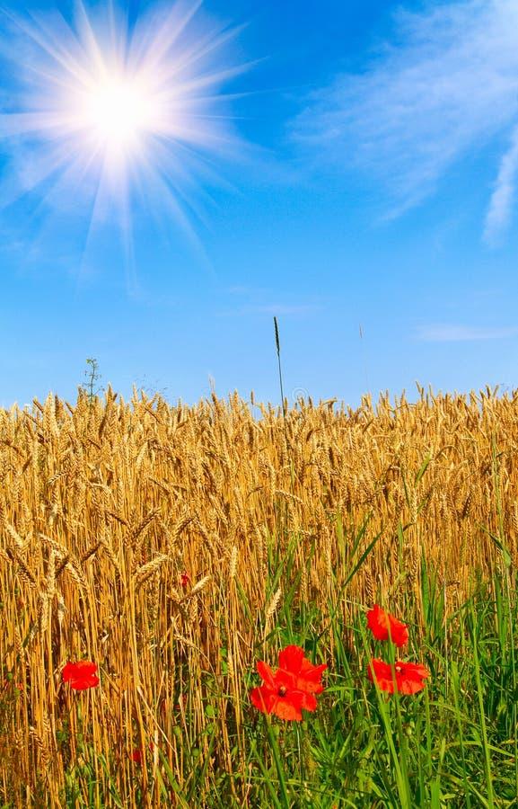 Wundervolle rote Mohnblumen und goldenes Feld des Weizens. stockbilder
