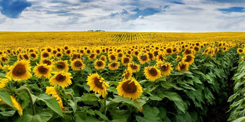 Wundervolles Feld der panoramischen Ansicht der Sonnenblumen stockfoto