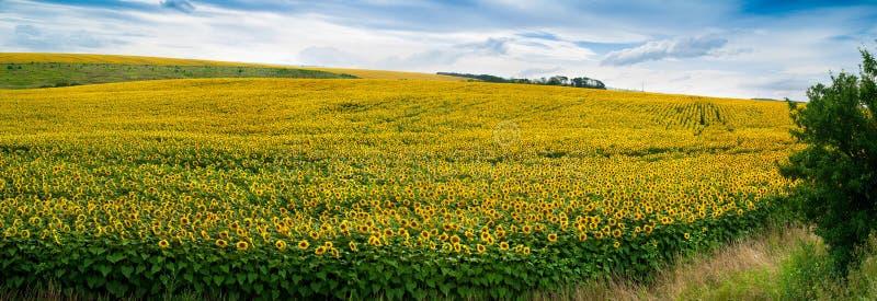 Wundervolles Feld der panoramischen Ansicht der Sonnenblumen lizenzfreies stockfoto