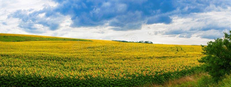 Wundervolles Feld der panoramischen Ansicht der Sonnenblumen stockbilder