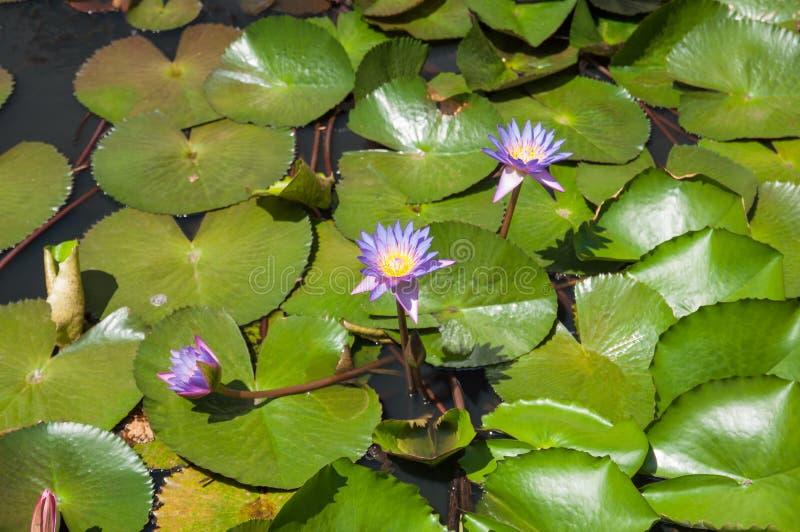 Wunsch von Lilienteich des blauen Wassers stockbilder