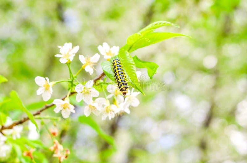 Wurm auf Baum der weißen Blume lizenzfreie stockfotos