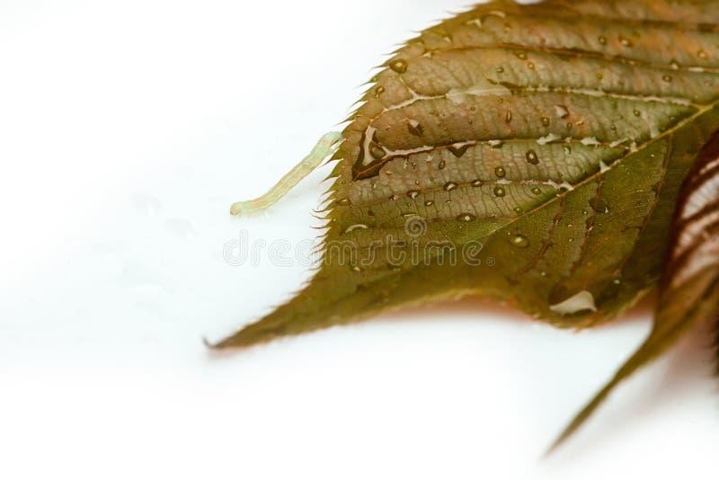 Wurm auf Blatt mit Wassertropfen lizenzfreie stockfotografie