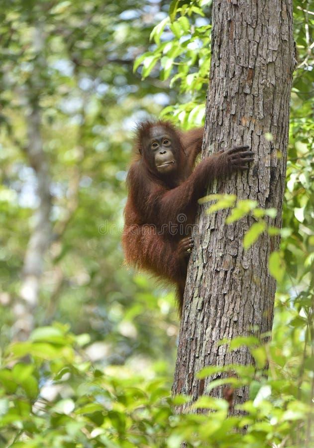 Wurmbii central del pygmaeus del Pongo del orangután de Bornean en el árbol en hábitat natural Naturaleza salvaje en la selva tro imagenes de archivo