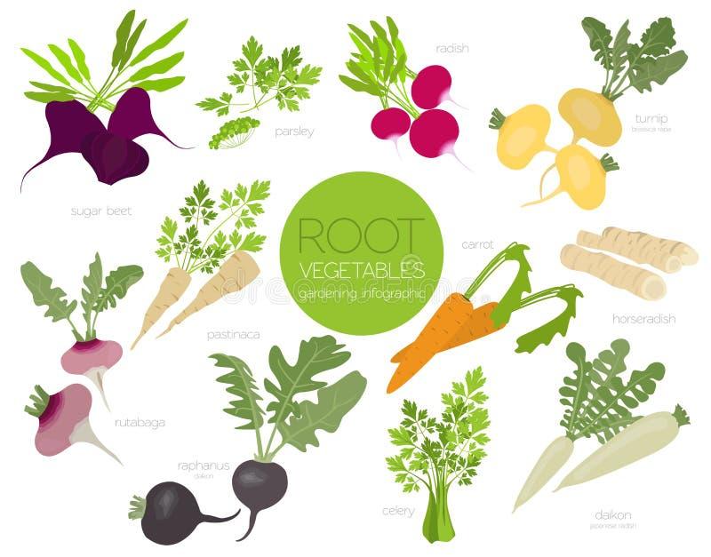 Wurzelgemüse raphanus, Rettich, Zuckerrübe, Karotte, Petersilie usw. Gartenarbeit, Landwirtschaft infographic, wie es wächst Flac vektor abbildung