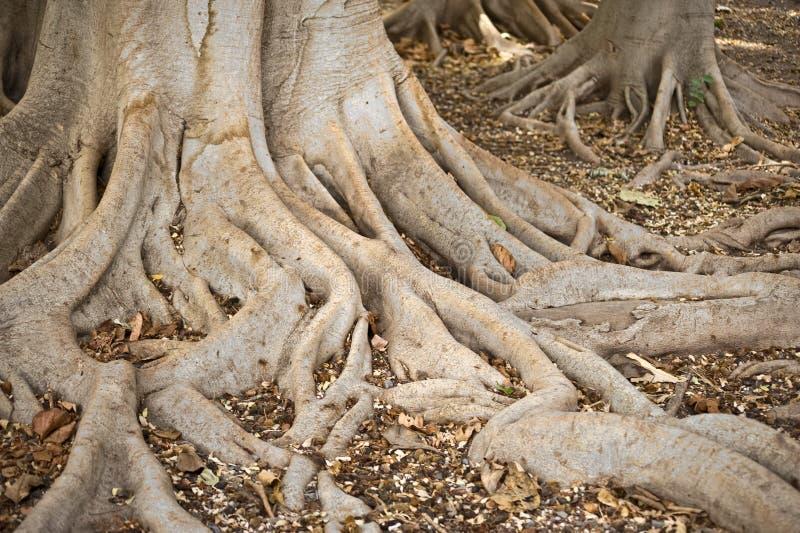 Wurzeln der Bäume lizenzfreie stockfotografie