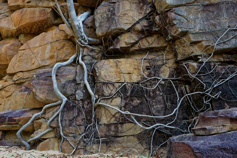 Wurzeln, die an den Felsen festhalten lizenzfreie stockbilder