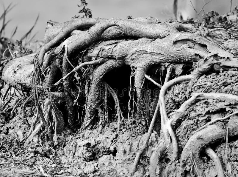 Wurzeln eines Bantambaumbaums stockbilder