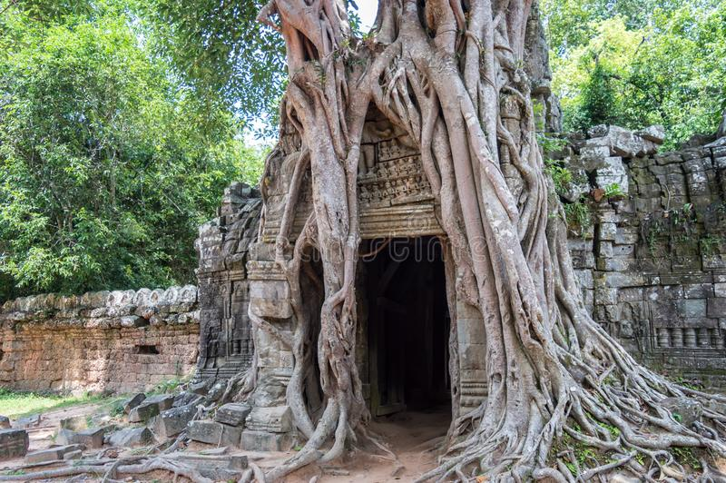 Wurzeln eines Banyanbaumes an Tempel Ta Prohm in Angkor, Siem Repräsentant Kambodscha stockfotos