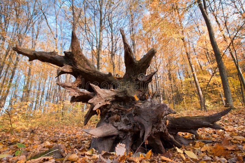 Wurzeln eines gefallenen Baums im Herbstwald an einem schönen sonnigen Tag, Naturlandschaftsfoto stockbilder