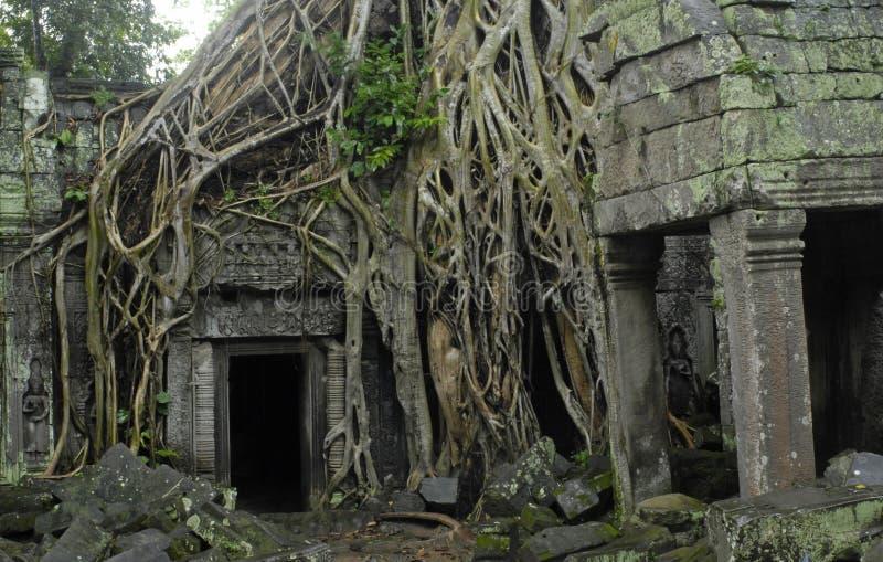 Wurzeln eines silk Baumwollbaums an Ta Prohm stockfotos