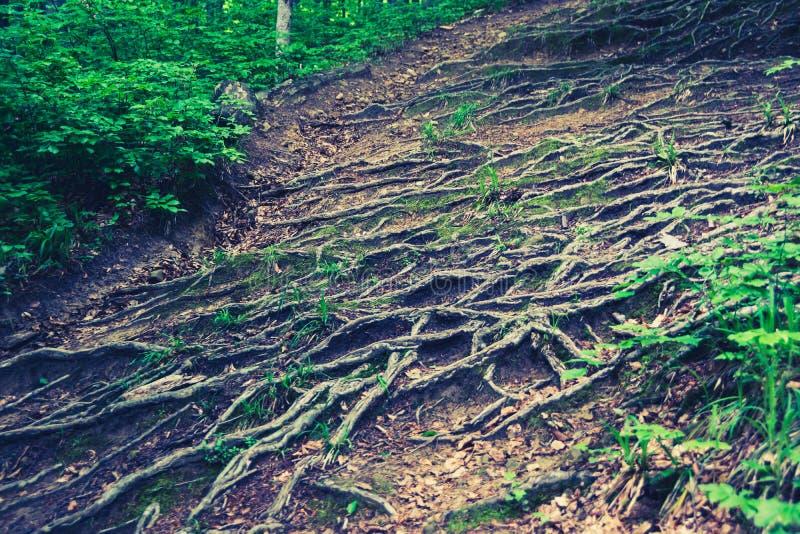 Wurzeln im Wald lizenzfreie stockfotografie