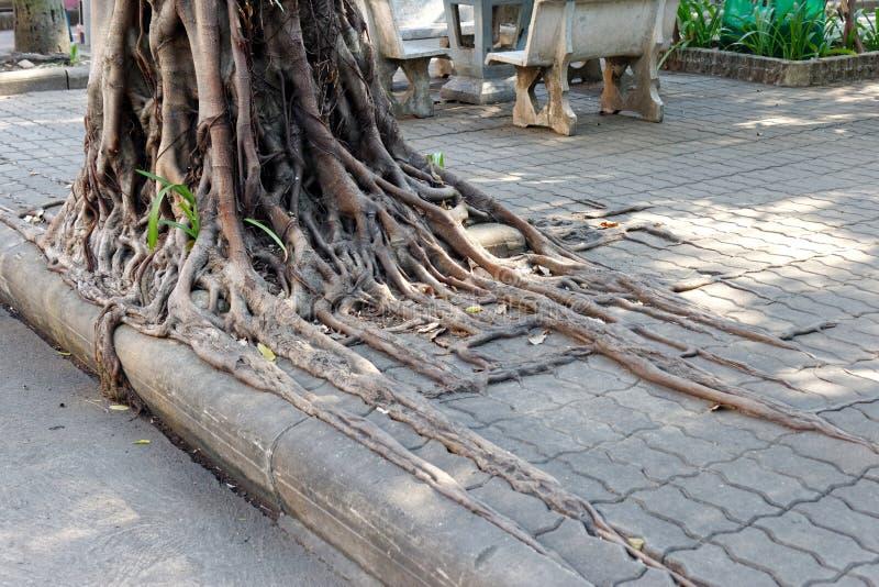 Wurzeln sind in und um die umliegenden Gehsteig-Blöcke gewachsen lizenzfreie stockfotos
