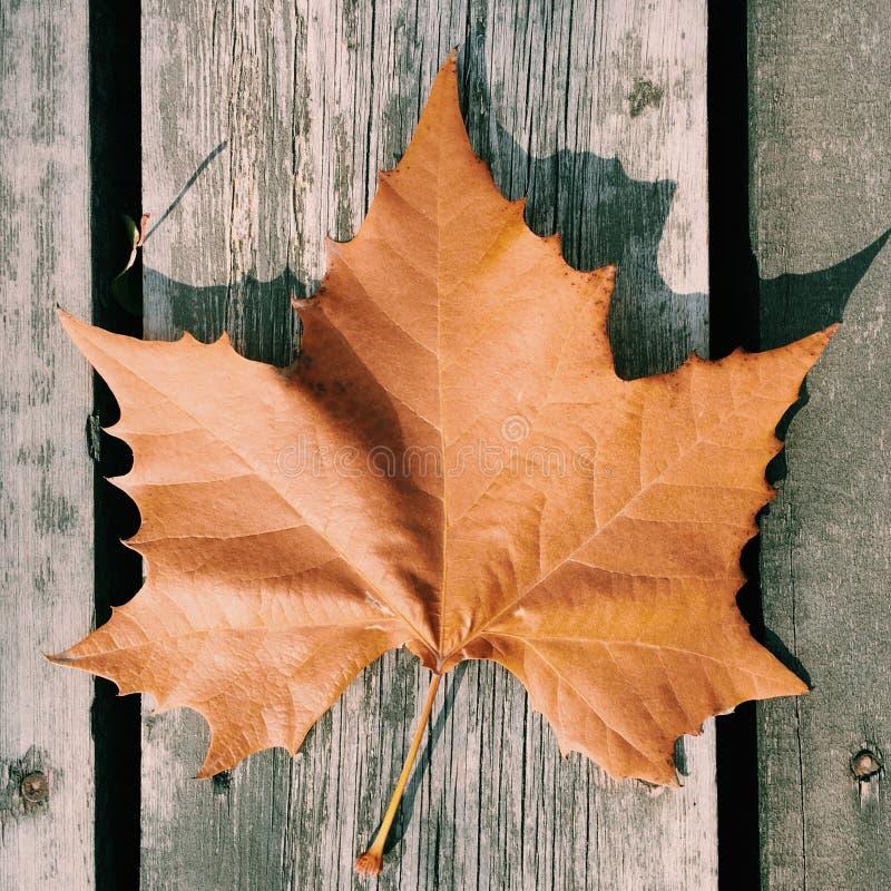 Wutong-Blätter im Herbst stockbild