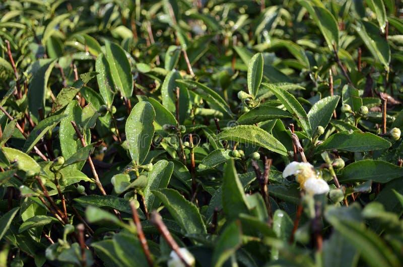 Download Wuyi Rock tea leaves stock photo. Image of asian, garden - 39505490