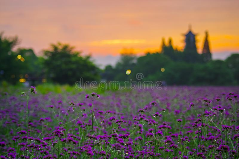 Ancient pagoda in the distance of purple verbena. Wuzhen, China, the ancient pagoda behind the purple verbena, it is extraordinarily dreamy in the sunset royalty free stock images