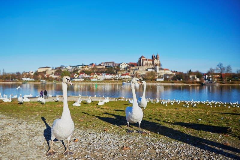 Wwans sur la banque du Rhin avec le château de Breisach à l'arrière-plan photographie stock