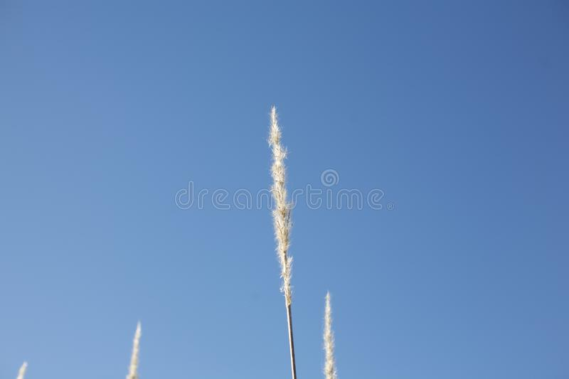 Wheat grass stem stock photos