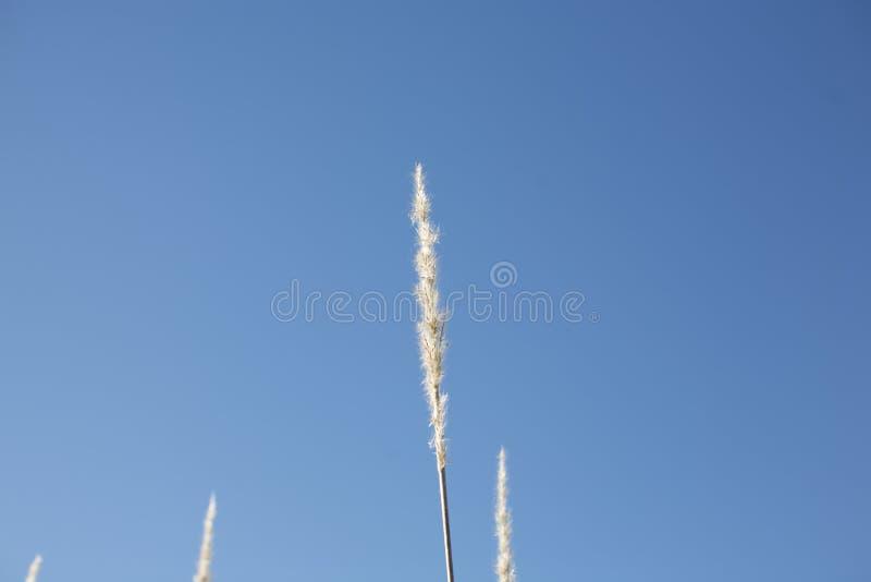 Wweat trawy trzon zdjęcia stock