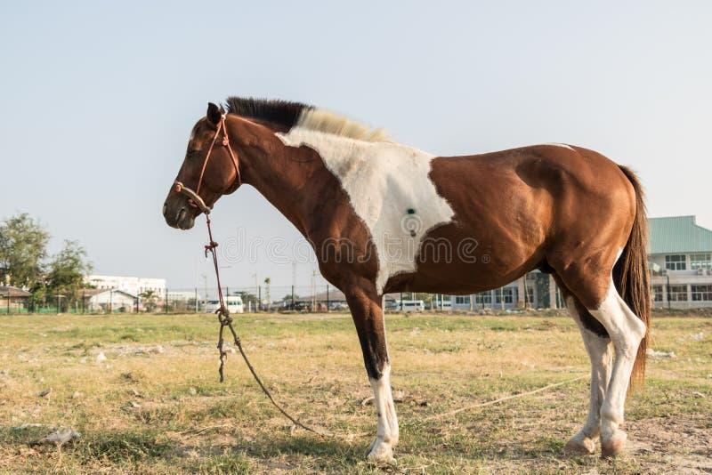Wyścigi konny łasowania Wantowa trawa między ćwiczy każdego dnia obraz stock