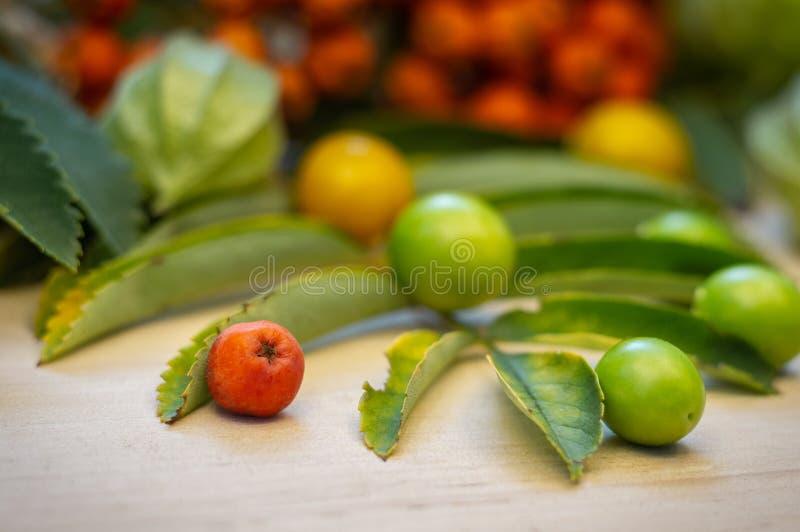 Wyśmienicie pęcherzyca - małe stubarwne jagody gałęziaści zieleń liście zdjęcie royalty free