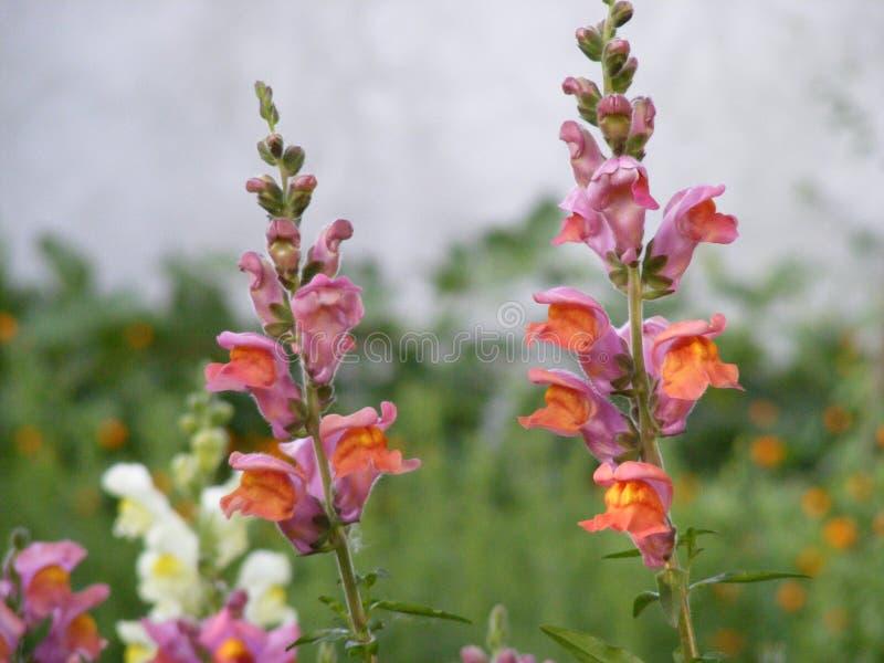 Wyżlin roślina zdjęcie stock
