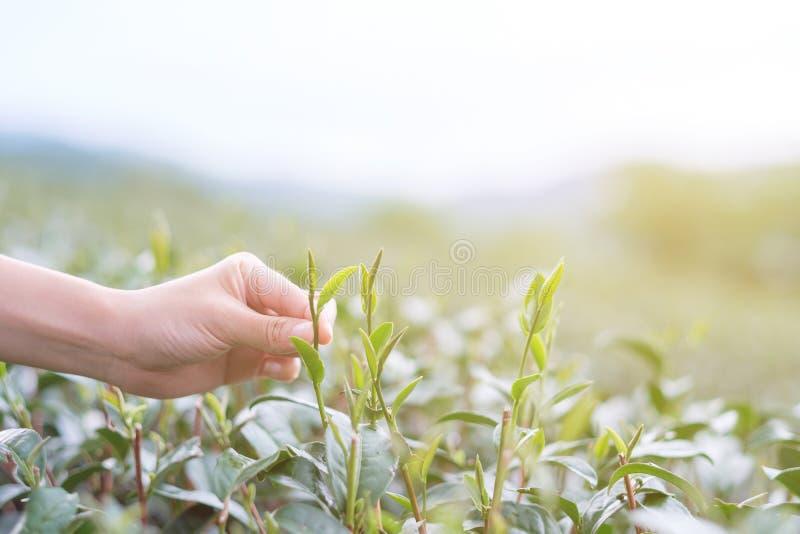 Wybór herbaty liść obrazy royalty free