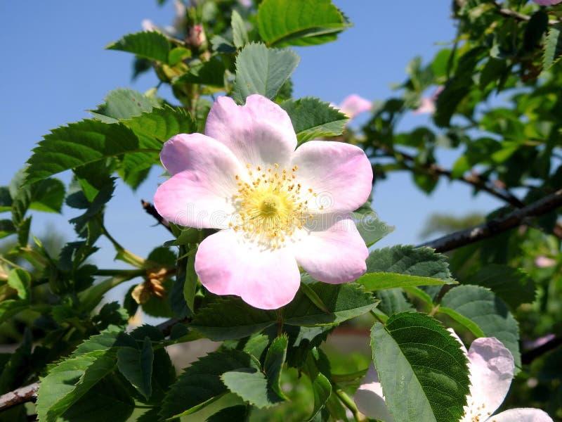 Wybielanie kwiat blisko jeziora, Lithuania obrazy royalty free