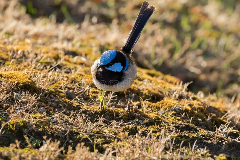 Wyborowy Czarodziejski strzyżyk, Błękitnego strzyżyka męski ptak foraging dla jedzenia w parzysty, równy obraz royalty free