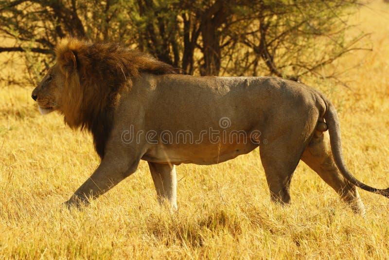Wyborowy Dorosłej samiec lew podąża w sezon lwicie obraz royalty free
